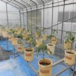 栽培実験の開始