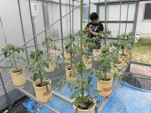 トマトに支柱を立てています