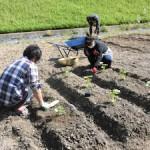 野菜苗を植えています