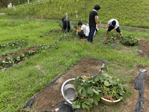 実験ほ場でダイズの収穫