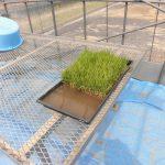 水稲の定植(1) イネの苗