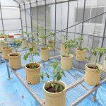 トマトの定植(3) ポットに植えたトマト