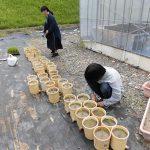 水稲の定植(3) イネを植えています