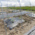 トマトの定植(4) 雨よけハウスに植えたトマト