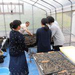 トルコギキョウの定植 (4) 苗を植えたポットを四日市大学実験用ビニルハウスで栽培します