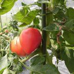 温泉トマトの分析(1) トマトの果実