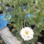 トルコギキョウが咲きました(3) 白い品種もあります