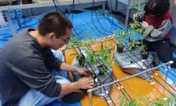 トマトの温泉水栽培が始まりました(2)