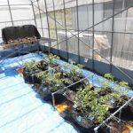 トマトの温泉水栽培が始まりました(3)