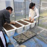 トルコギキョウ根域冷却実験開始(2)