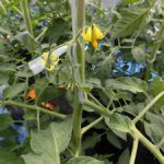 トマト開花(2)