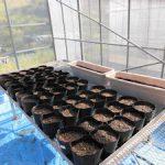 トルコギキョウ定植(3)