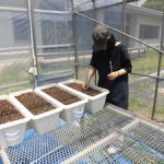 トルコギキョウ根域冷却実験開始(3)