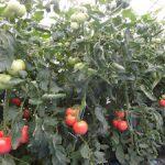 トマト収穫(1)