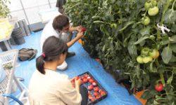 トマト収穫(2)