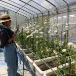 トルコギキョウ収穫(1)