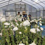 トルコギキョウ収穫(2)
