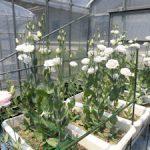 トルコギキョウ開花(2)