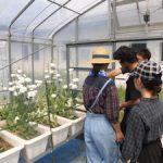 トルコギキョウ収穫(3)
